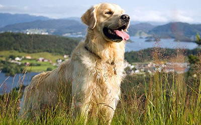 golden_retriever_products